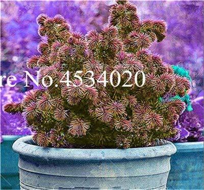 AGROBITS Saat: 50 Stück Rare Fichte Evergreen Tanne Pflanze Bonsai Topf Pine Weihnachtsbaum für Gartenpflanzen: 1