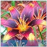 ZLKING 2ST Amaryllis Zwiebeln Hippeastrum Blume Nicht Amaryllis Seeds Dachterrasse Garten Innenhof Garten Barbados Lily Blumenzwiebeln 1