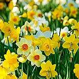 Portal Cool 20 Junquillo narciso Nano conjunta Grdn bulbos de primavera Autun Crsct Fiortr rizomas