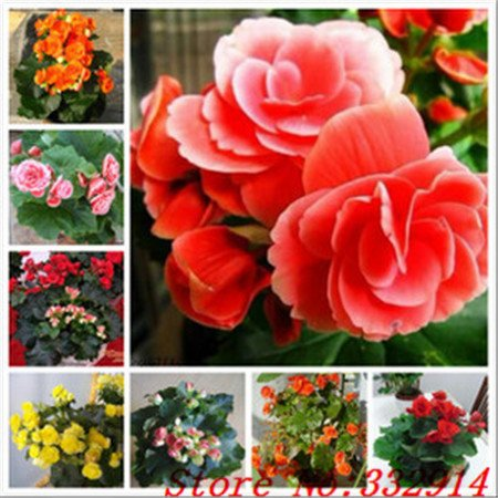 Hot Sale 2016 20 Couleurs rares Graines Begonia fleurs Graines 50pc / Paquet Graines Bonsai pour Maison & Jardin