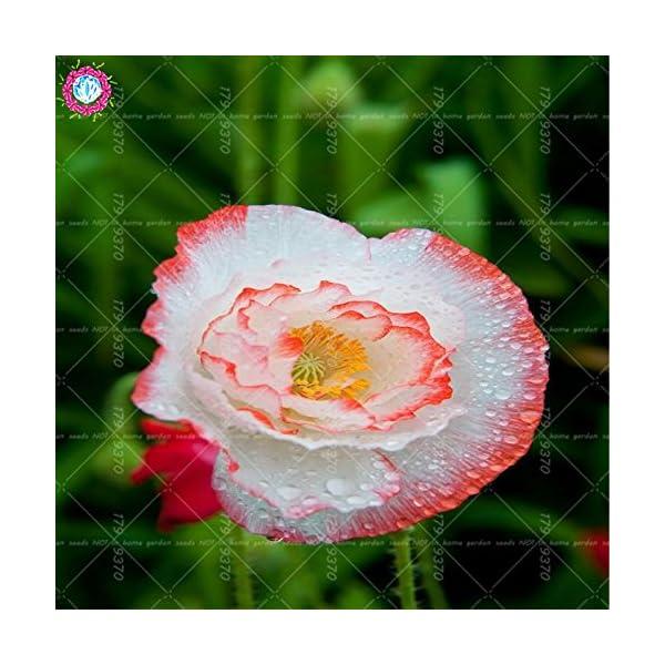 semillas 100pcs Rojo amapola bonsai. Rara Papaver orientale semillas en macetas decoradas para planting.semillas jardín…