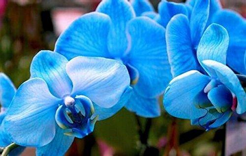 100PCS Orchidee-Samen BLUMEN Samen für Hausgarten Phalaenopsis Orchidee Samen kaufen-direkt-aus-China orquidea semente