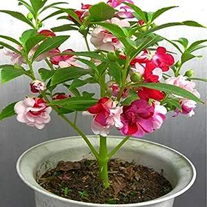 Zierpflanze f/ür den Innen- und Au/ßenbereich seltene lilafarbene Sonnenblumenkerne 100 St/ück Balkon Garten Pflanzen. f/ür Zuhause Hof Beautijiam Samen Bauernhof