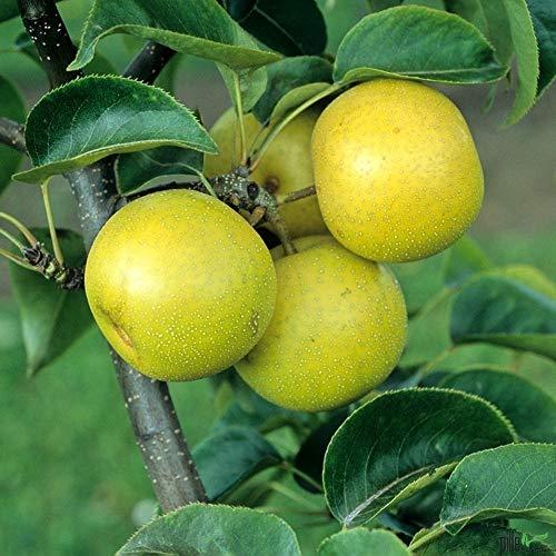 Nashi-Birne Nijiseiki Birnen Birnenbaum Obstbaum winterhart 120-150 cm -
