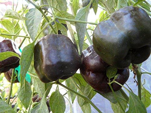 Portal Cool Premium-Erbstück Chilhuacle Negro Pepper Samen-W 091