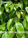 100% real semillas de Moringa oleifera chino hierbas raras bonsai Lamu Sementes al aire libre plantadores de árboles de jardín de alimentos DRUMSTICK Miracle