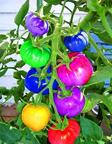 Shopmeeko Graines: Véritable 100 arc-en-tomate nain, des plantes rares de tomates, légumes bonsaïs & amp; organique! fruits Planta, plantes pour le jardin, JDJX64