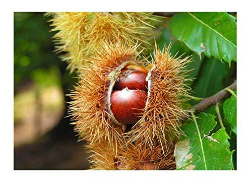 Edelkastanie Castanea sativa Pflanze 25-30cm Esskastanie Maronen Maroni Kastanie