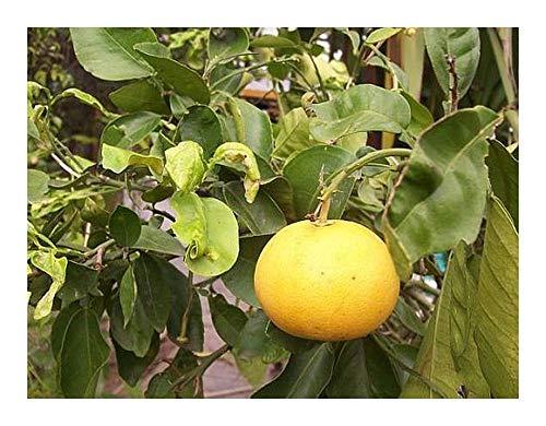 Citrus maxima - Pampelmuse - 5 Samen