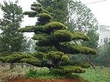 Frischer chinesischer Red Pine 10 Samen Chinesischer Kiefer Zierbaum