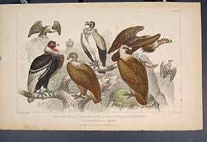 Copie de Couleur du Roi Sociable Griffon Bird Birds de Vautour