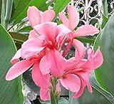 Portal Cool 20 Samen Pfirsich Canna Indica Lilienblume Tropische Pflanze Frisch und Durchführbar