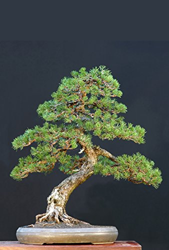 Seedeo Bergkiefer (Pinus mugo Rostrata Pyrenäen) Bonsai 25 Samen