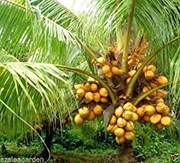 "Azalea Garden Dwarf Coconut "" Yellow Malayan "" Live Plant Kerala Coconut Tree Plant"