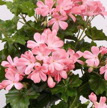 Geranien Kunstblume mit 116 rosa farbigen Blüten, Höhe und Durch. ca. 40cm – Kunstpflanze künstliche Blumen Kunstblumen Blumensträuße künstlich, Seidenblumen oder Blumen aus