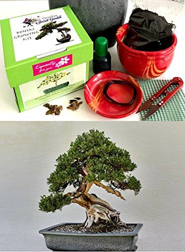 Exklusive Komplette Bonsai Anzuchtset (chinesische Wacholder)-Pflanzgefäß aus Keramik! Zehn Teile - Komplette Set in der Geschenkbox
