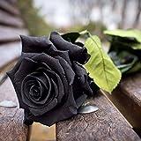 Ncient 50 Semi Sementi di Rosa Nera Fiori Rari Semi Profumati Fiori Piante per Orto Giardino Balcone Interni ed Esterni