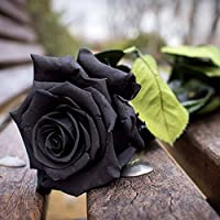 Ncient 50 Semillas de Rosa Negra Bonsai de Jardín Semillas de Flores Plantas Raras para Balcón Interior y Exteriores