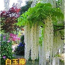 Fash Lady 10 stüCke Schöne Gartenpflanzen Glyzinie Blume Glyzinien Bonsai Blume DIY hausgarten # 2024: 1