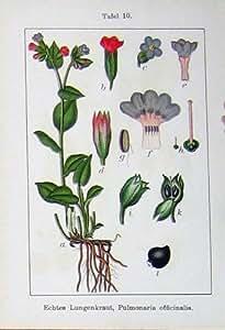 Pianta 1903 di Sturms Pulmonaria Officinalis Echter dei Fiori