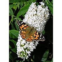 Buddleja davidii White Profusion - Buddleia, Butterfly Bush, Plant in 9 cm Pot