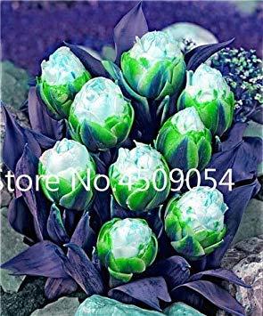 Ice Cream Tulip (Bonsai 300 PC mischten Tulip Pflanzen Seltene Schönheit Bonsai Blume Seedsplants Ice Cream Wie Schöne Tulpen Perennial DIY Hausgarten: 18)