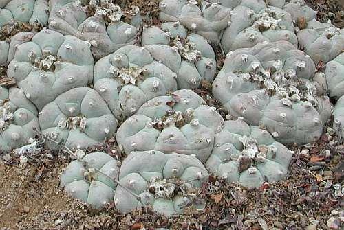Exotic Plants Lophophora williamsii v San Antonio - Peyotl - cactus San Pedro - 50 graines