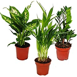 Zimmerpflanzen-Mix I 3er Set, 1x Dieffenbachia, 1x Areca-Palme (Chrysalidorpus) 1x Zamio-Palme (Zamioculcas), 10-12cm Topf, Grünpflanzen Set