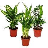 Zimmerpflanzen-Mix I 3er Set, 1x Dieffenbachia, 1x Areca-Palme (Chrysalidorpus)...