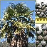 Hanfpalme (Naini) - 50 x Samen -Trachycarpus fortunei (Naini Tal) - extremst frosthart -