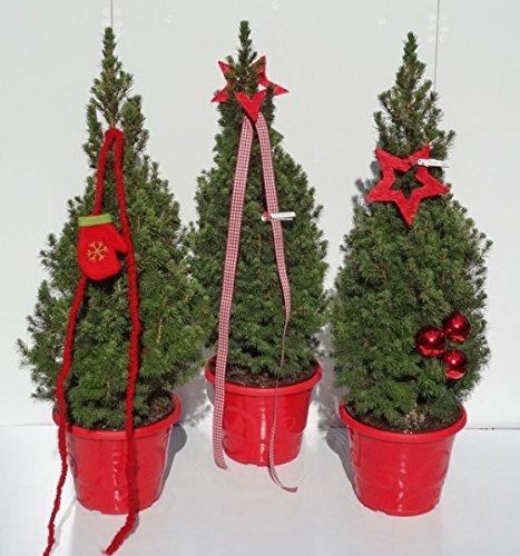 Picea glauca Conica Zuckerhutfichte in weihnachtlicher Dekoration 60-70 cm
