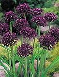 10 Allium atropurpureum Zierlauch Blumenzwiebeln