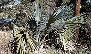 Farmerly 5 Seeds of Sabal Minor Cape Hatteras Hardy Dwarf Palmetto Seeds