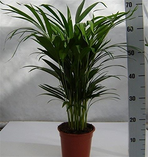areca-palm-tree-butterfly-palm-dypsis-lutescens-55-65cm-tall
