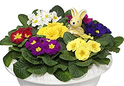 Primel, 4 Pflanzen in verschiedenen Farben blühend von Dominik Gartenparadies - Du und dein Garten