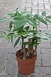 Zimmerpflanze für Wohnraum oder Büro - Pachira Aquatica - Glückskastanie - ca. 95cms hoch, mit geflochtenem Stamm