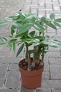 Plante d'intérieur - Plante pour la maison ou le bureau - Pachira aquatica - Arbre à monnaie - Environ 95cms de haut, tronc tressé