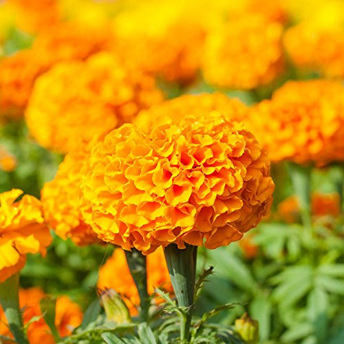 Ringelblume moonsong Deep Orange Samen - Aufrechte Studentenblume
