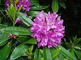 10 Samen von Rhododendron carolinianum Rosebay