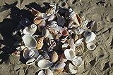 100 g) kleine Muscheln Muschel für Bastel- und Display, 1,5 cm - 3,0 cm - 2