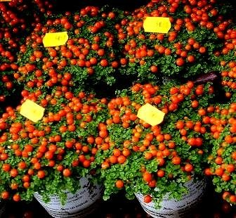 Graines de tomate cerise - Lycopersicon Esculentum
