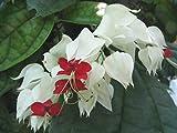#10: Bleeding glory-bower (Clerodendrum thomsoniae) Evergreen ornamental live plant.