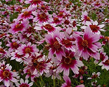 American Home Dream Flower (Farmerly 50+ Coreopsis American Dream Self-Seeding Annual Flower Seeds?)