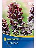 Kaiserkronen Fritillaria Persica Persische Schachbrettblume tiefviolett