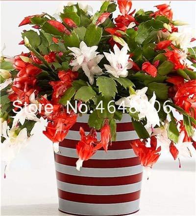 pinkdose 100 pz/borsa hanging schlumbergera zygocactus flores bonsai natale cactus plantas, pianta bonsai per la casa giardino, facile da piantare: 1