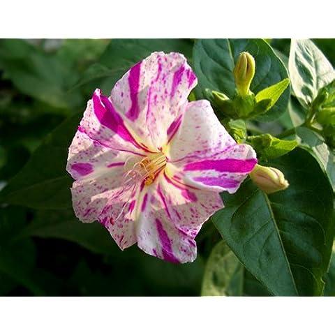 Las semillas de la hierba de colores perfumado de jazmín, 20 granos / envolvieron hermosas flores de jazmín púrpura perenne,