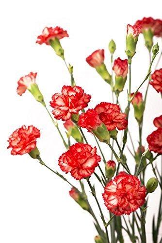 carnation-absolute-garofano-10ml-diluito-al-5