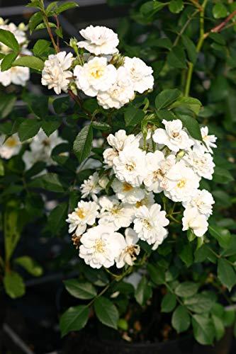 Trauerstämmchen Rose Guirlande d'Amour® (im grossen Container) - kräftiges Stämmchen; Stammhöhe 120 cm; im 10L-Topf