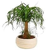 Dehner Elefantenfuß, einstämmig, im Keramikübertopf, 40-50 cm, Zimmerpflanze...
