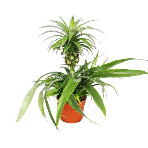 ananas-champaca-zierananas-zimmerpflanze